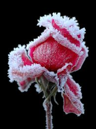 frozen rose @Lisa Tuvell Hauguel