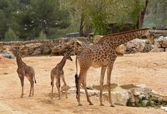 Jerusalem's Biblical Zoo recently welcomed a new generation of giraffes to the wildlife park. The calves are Adis, a 2-week-old male; and Rotem, a 1-month-old female. They are the third generation of Jerusalem-born giraffes whose grandparents were purchased in an auction in South Africa.