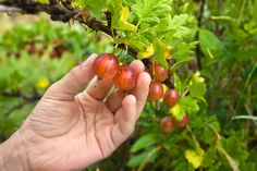 Gooseberries are cool weather berries that can be eaten fresh or turned into delicious jams or jellies. All well and good, but how do you know when to harvest gooseberries? Click this article to find out when and how to harvest gooseberries.