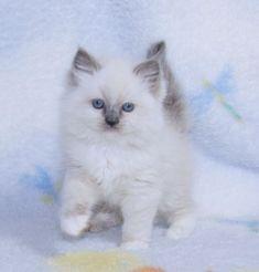 Ragdoll Kittens for Sale, | Catlana Ragdolls Ragdoll Kittens For Sale, Kitten For Sale, Cats And Kittens, Pet Dogs, Dog Cat, Pets, Beautiful Kittens, Newborn Kittens, Sea Otter