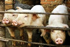 Factory Farm Cruelty