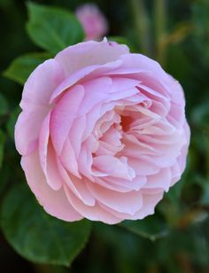 The Generous Gardener - Shrub, light pink, very full, 2004, rated 7.1 (average) by ARS.