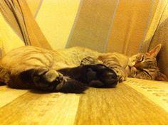 #devonrex #cat #sleepingbeauty
