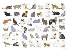 Kedi Cinsleri – Kedi Irkları