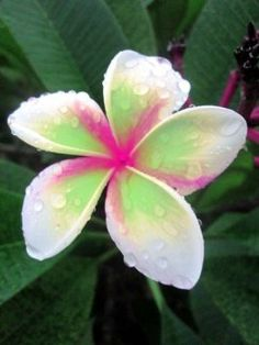 """PLUMERIA'S CUTTING WITH ROOTED 7-12 INCHES """"WHITE-RAINBOW"""" WITH CERTIFICATION AND REGISTERED TRACK ONLINE"""