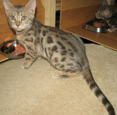 Blue/Sepia/Snow Female Spotted | Bengal Cats Bengals Illustrated Directory Bengal Cats, Kittens Cutest, Fur Babies, Dog Cat, Snow, Female, Dogs, Blue, Animals
