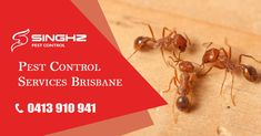 Call Singhz Pest Control Now! We Offer the Best #AntControl Solutions in #Brisbane! #PestControl #PestRemoval