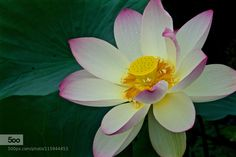Lotus by JoMami. Please Like http://fb.me/go4photos and Follow @go4fotos Thank You. :-)