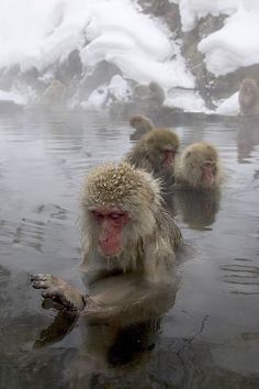 Snow Monkeys(Japanese macaque)  bathing in natural hot springs. Nagano, Japan