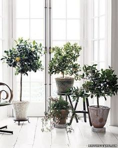 Is that a lemon tree? I think that indoor lemon trees are the optimal expression of luxury. I getting two. ;-)