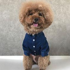 人気のシャツシリーズ 👔 http://instagram.com/room_milletrois * 即納 国内発送。 PET denim shirt ♣︎ * ▪️size ; S, M, L XL 〔pic着用レッドプードル 6.5kg XL size〕 * ▪️color ; 1 カラー * お問い合わせや予約・ご購入はプロフィールよりonline SHOP もしくはDM・公式LINEよりご連絡下さいませ。 * 海外から買い付けしました 上質で他とないデザインのお洋服や小物を リーズナブルな販売しております。 もちろんgift配送も可♪ わんちゃん,ねこちゃん どちらも着用可です♡ * 順次新作が入荷しますのでどうぞお楽しみに。 * #pet#dog#poodle#fashion#ootd#プードル#トイプードル#シルバープードル#デカプー#チワワ#ヨーキー#フレンチブルドッグ#パグ#ペキニーズ#わんこ#いぬ#ねこ#犬バカ部#犬#子犬#猫#愛犬#子供#子供服#ペットウェア#ペットショップ#キッズ#キッズコーデ#女の子#男の子