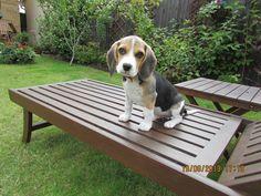 Pretty pup! #beagle #dogs