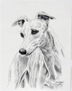 """A Bonny Whippet by Canine Art Pencil ~ 10"""" x 8"""""""