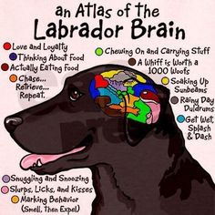 Labrador's Brain... http://mamabearplus6.wix.com/fortheloveoflabs