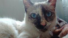 Eu vou hipnotizar você, olhe para meus lindos olhos azuis!!!😻🐾❤