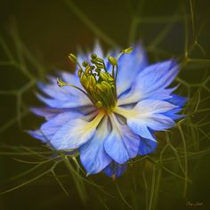 Nigella (Love In A Mist) by ChristopherLeeHewitt (Away), via Flickr