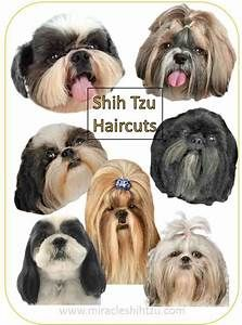 Great With A Medium To Short Curly Hairstyle It You Have Curly Hair Long Hairstyles Shih Tzu Haircuts Shih Tzu Grooming Shih Tzu