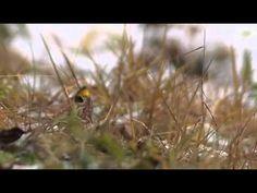 2012 12 09ミヤマホオジロ