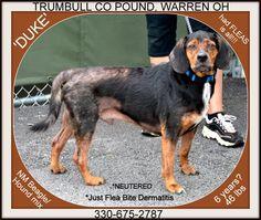 SUPER URGENT!!! DUKE (very sweet...needs love & TLC) Trumbull County Dog Pound WARREN OHIO.... PLEASE RESCUE ASAP!!!!! https://www.petfinder.com/petdetail/30139880/