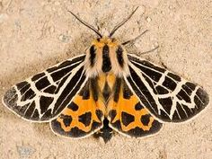 Harnessed Moth & banded tiger moth - Google Search