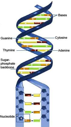 DNA consists of two long, twisted chains made up of nucleotides. Each nucleotide contains one base, one phosphate molecule and the sugar molecule deoxyribose. The bases in DNA nucleotides are adenine, thymine, cytosine and guanine.