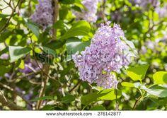Flowers shrub Syringa vulgaris (lilac, common lilac) from the family Oleaceae