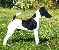The Smooth Fox Terrier was developed in 18th-century Britain for killing vermin & chasing foxes from their dens.  Today it is mostly loved as a spunky companion, but is obstinately strong-willed & needs persistent training.  It is also a joyful athlete who needs a rural environment to spread out.  The Smooth Fox handles any climate but does not tolerate other dogs nor strangers easily.