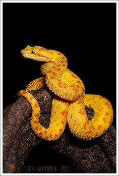 "Eyelash Viper ""Oropelo"" (Bothriechis schlegelii) ~ By Thor Hakonsen Beautiful Creatures, Animals Beautiful, Cute Animals, Kinds Of Snakes, Snake Photos, Colorful Snakes, Pit Viper, Snake Venom, Cute Snake"