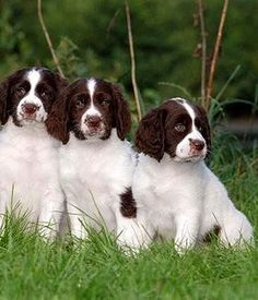 These Drentse Patrijshond puppies may grow up to hunt partridge, just as the breed was created to do.