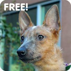 Walnut Creek, CA - Australian Cattle Dog/Xoloitzcuintle/Mexican Hairless Mix. Meet Chevelle a Dog for Adoption.