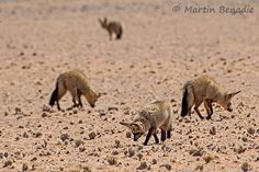 Bat-eared foxes at Sossusvlei #Namibia