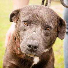 Meet Blue Bear, an adoptable Labrador Retriever looking for a forever home. If you're looking for a new pet to adopt or want information on how to get involved with adoptable pets, Petfinder.com is a great resource.