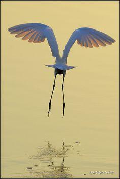 ..Great Egret by Earl Reinink..