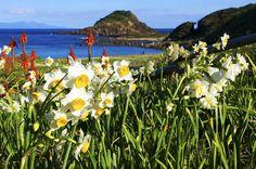 海とアロエとみさき水仙。甘い香りに包まれる新春の水仙まつり
