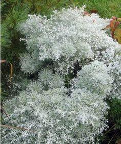 Artemisia schmidtiana Nana - Présentation
