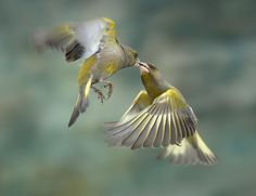 30 Amazing and Meaningful Action Photos From Real Life - luisa Action Photography, Wildlife Photography, Animal Photography, Greenfinch, Nyan Cat, Auto Glass, Kinds Of Birds, Wildlife Nature, Art Nature