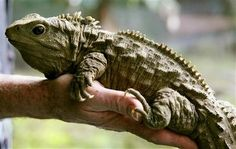 HENRY TUATARA 111 Year Old | Henry, the 111-year-old Tuatara, an indigenous New Zealand reptile ...