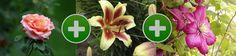 Роза, клематис и лилия