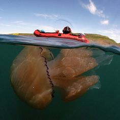 Thousands of Giant Jellyfish Appear in Swarms off Britain's Coast - My Modern Met