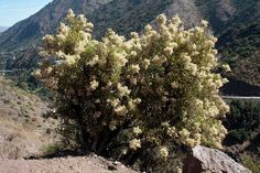 Proustia cuneifolia - Huañil blanco