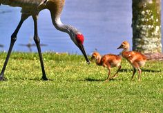These sandhill cranes with their babies were a delight to watch at the Port St. Lucie RV Park, St. Lucie West, FL