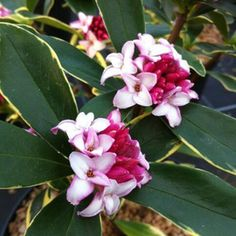 Petit arbuste au feuillage persistant panaché. Floraison très parfumée au coeur de l'hiver.