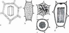 FIGURE Most common types of crystals. (a) Prismatic; (b) crystal sand; (c) druse; (d) acicular crystals (raphi-des; transverse section); (e) raphides (longitudinal section). (Images courtesy of Prof. Longitudinal Section, Plant Cell, Types Of Crystals, Vienna Austria, Biology, Anna, Science, Content, Nature