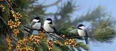 Branch Buddies by Bradley Jackson ~ chickadees