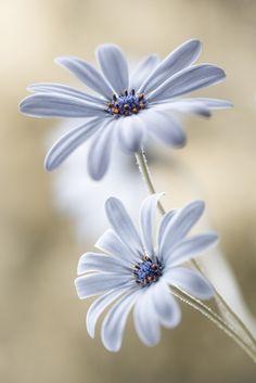 Cape daisies av Mandy Disher - Gallerix Konst-on-demand
