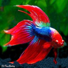 Google+ DUANGDARA SRIPINYO (DUANG) Shared publicly  -  12:26 AM   FOR EVERYONE : BETTA  FISH .................!                               : Found on authorcheryl.hubpages.co