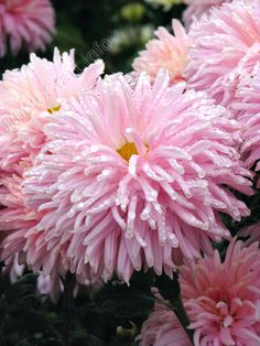 Chrysanthemum 'Royal Southdown Pink'