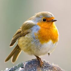 Robin, bird, featheres, cute, cuty, rødhals, rødkælk, nuttet, adorable,