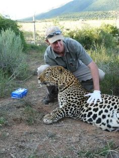 Wildlife BiologistZoologist Examining An Amur Leopard In The