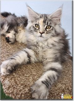 Zoey the Maine Coon, the Cat of the Day